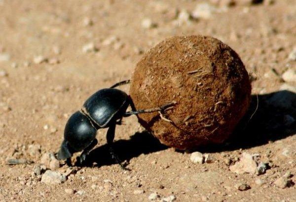 Животные пустыни - Жук-навозник