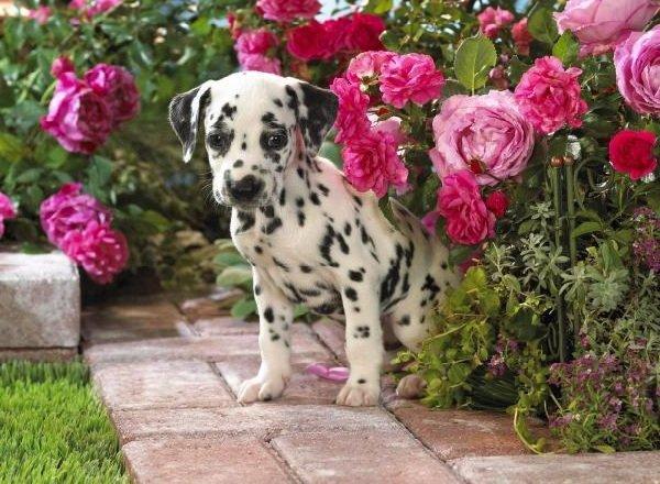 Добрые породы собак - это ошибка! Далматинец
