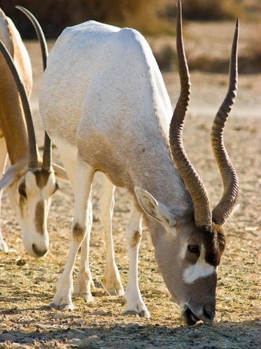 Животные пустыни - Антилопа Мендес