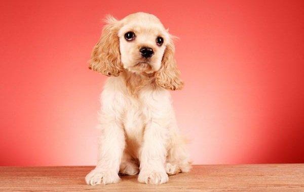 Добрые породы собак - это ошибка! Кокер-спаниель