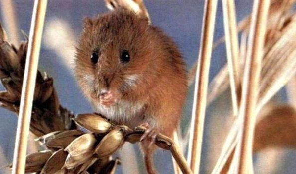 Самые медлительные животные в мире - Полевая мышь