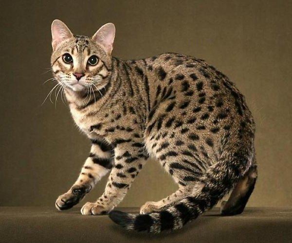 Язык кошек