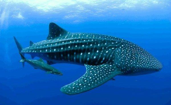 Самые медлительные животные в мире - Китовая акула