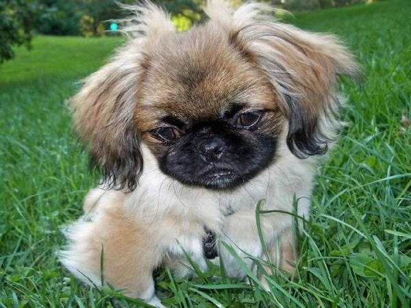 Добрые породы собак - это ошибка! Пекинес