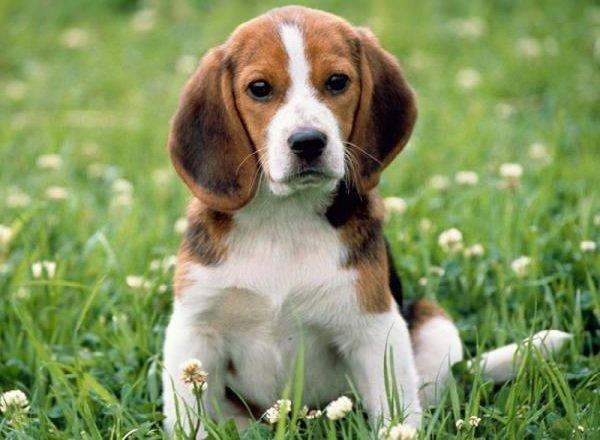 Добрые породы собак - это ошибка! Бигль