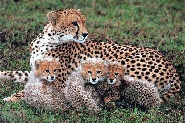 Гепарды — удивительные представители кошачьих