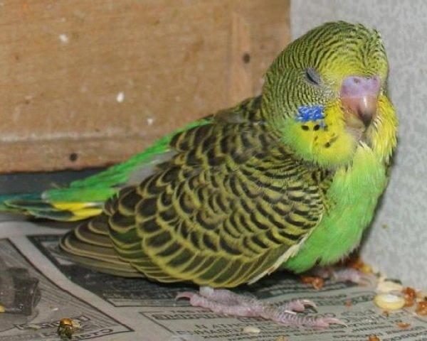 Попугайчик простудился — как вылечить