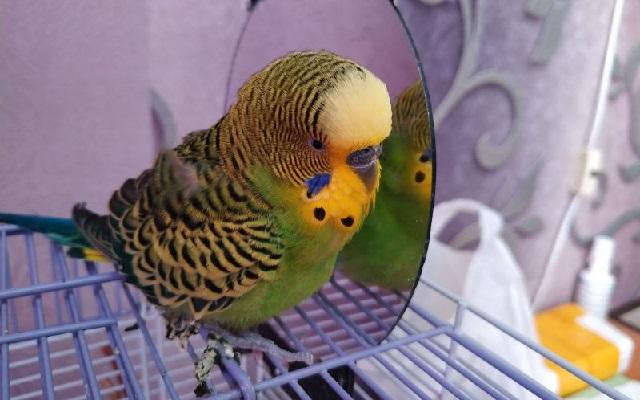 Попугай заболел, как его лечить?