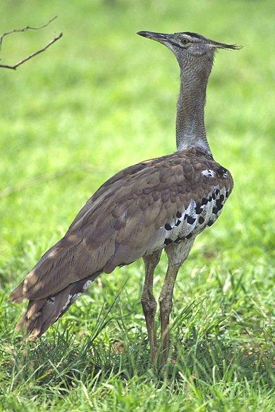 Дрофа обыкновенная – описание птицы, фото и видео