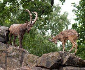 Горные козлы - виды и описание
