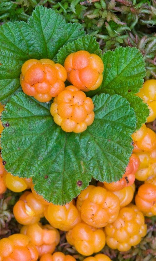 Морошка - удивительная ягода