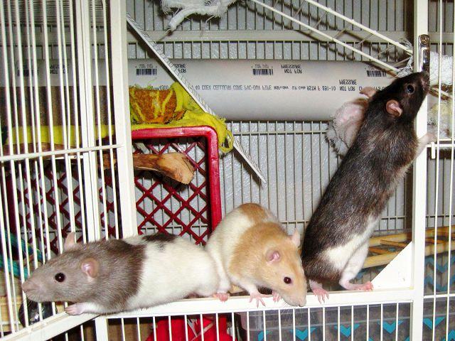 Домашние крысы и как за ними ухаживать.