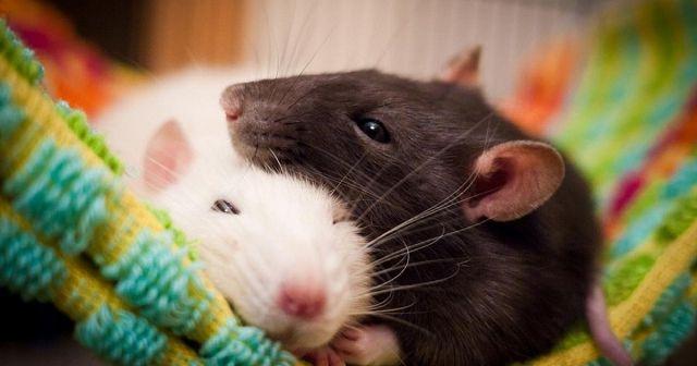 Декоративные домашние крысы.