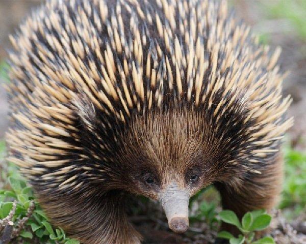 Древние животные - живущие в наше время - Ехидна австралийская
