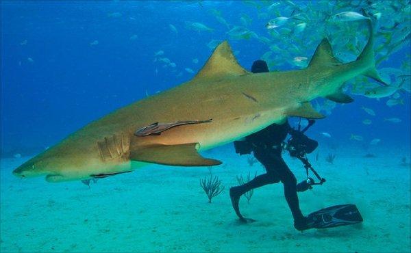 Самые опасные акулы планеты - лимонная акула