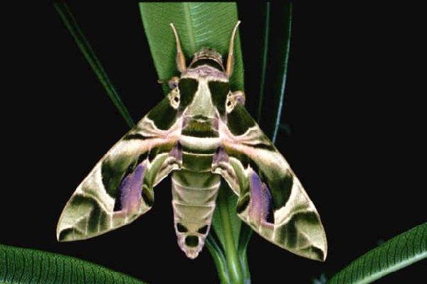 Необычные насекомые - Олеандровый бражник