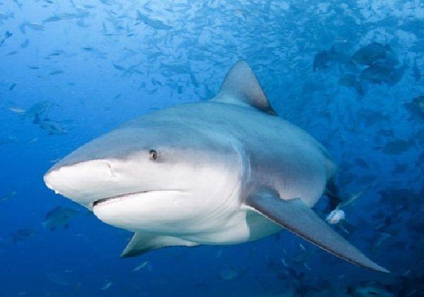 Самые опасные акулы планеты