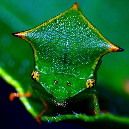 Необычные насекомые - Бодушка Бизонья