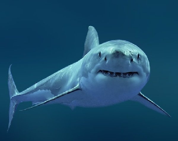 Самые опасные акулы планеты - большая белая акула