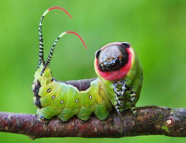 Необычные насекомые - Вилохвост