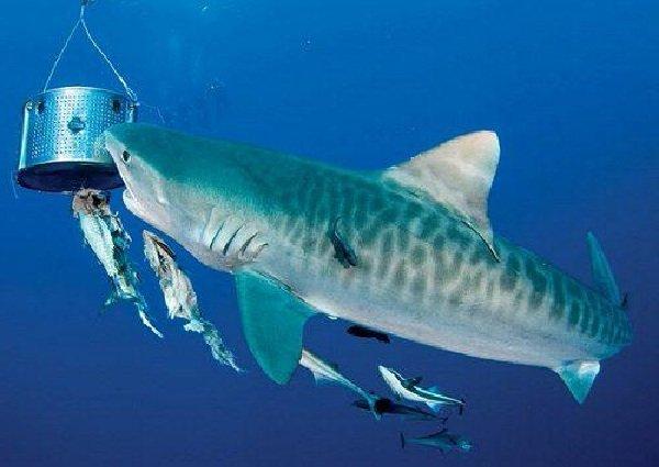 Самые опасные акулы планеты - тигровая акула