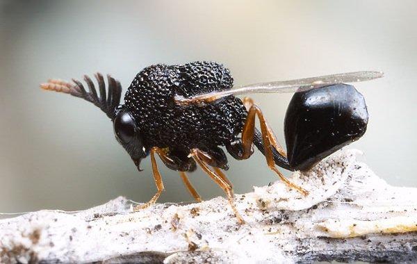 Необычные насекомые - Eucharitidae
