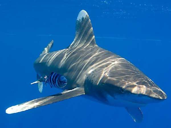 Самые опасные акулы планеты - длиннокрылая акула