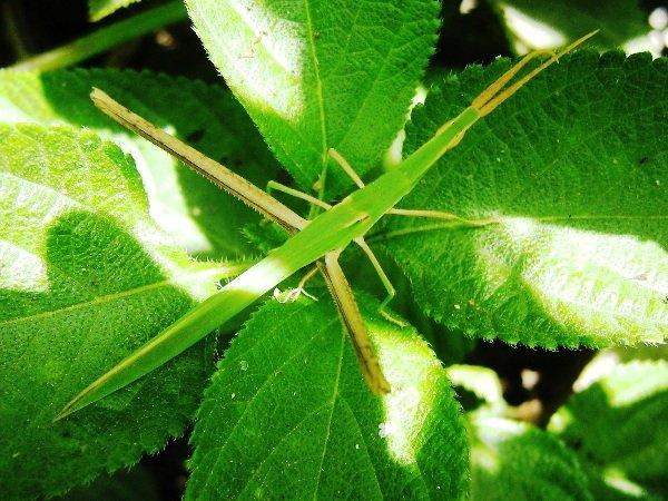 Необычные насекомые - Палончики