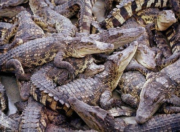 Древние животные - живущие в наше время - Крокодилы
