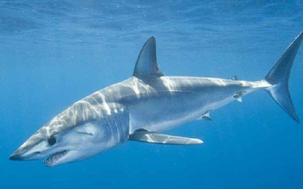 Самые опасные акулы планеты - остроносая акула-мако
