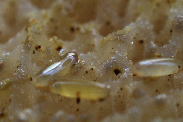 Необычные насекомые - личинки грибного комарика