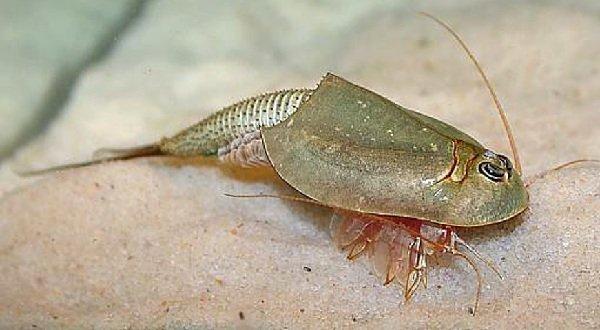 Древние животные - живущие в наше время - Ракообразные жаброногие щитни