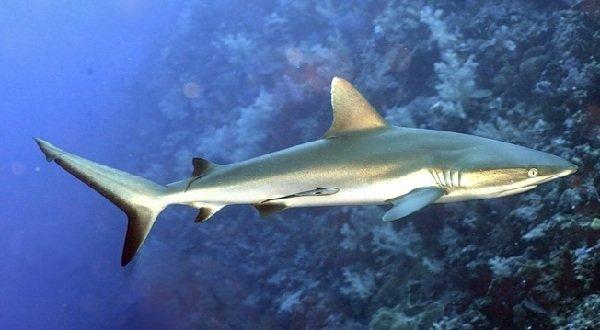 Самые опасные акулы планеты - серая рифовая акула