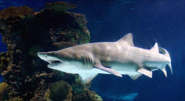 Самые опасные акулы планеты - песчаная акула