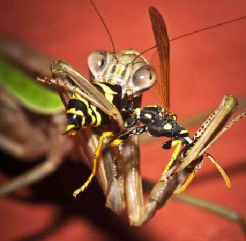 Необычные насекомые - Богомоловые