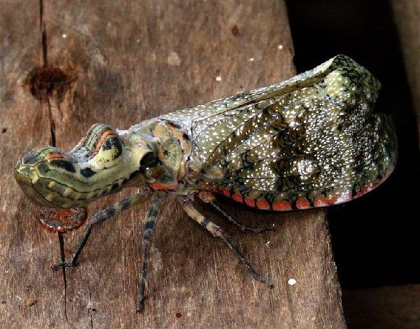 Необычные насекомые - Суринамская фонарница