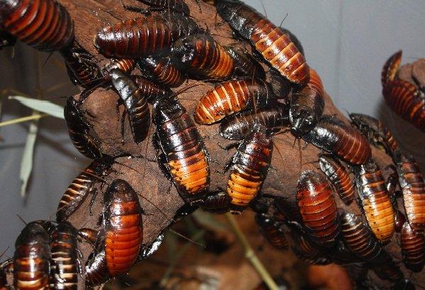 Тараканы — 10 интересных фактов