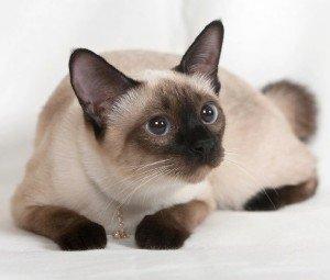 Сиамские кошки - особенности породы