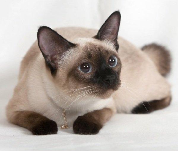Сиамские кошки — особенности породы