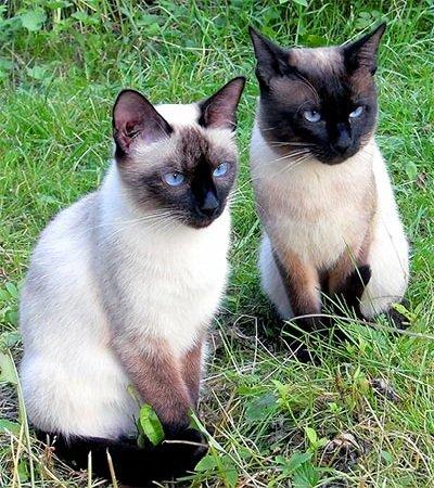 Тайская кошка - особенности породы