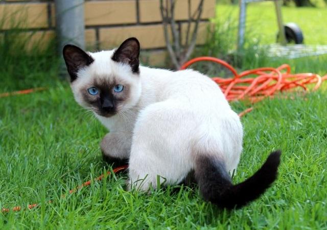 Тайская кошка — особенности породы