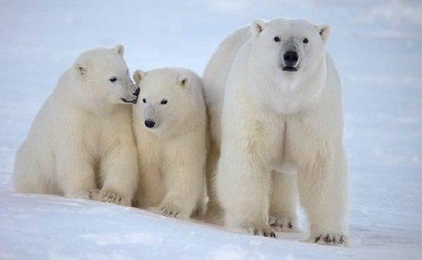 Животный мир Арктики - ТОП-10 - Белый медведь