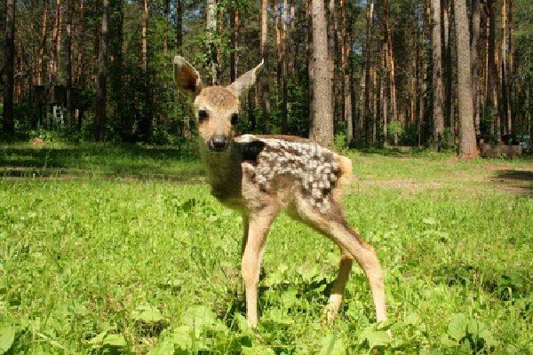 Беременность животных - самая длинная - Косуля