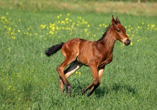 Беременность животных - самая длинная - Лошадь