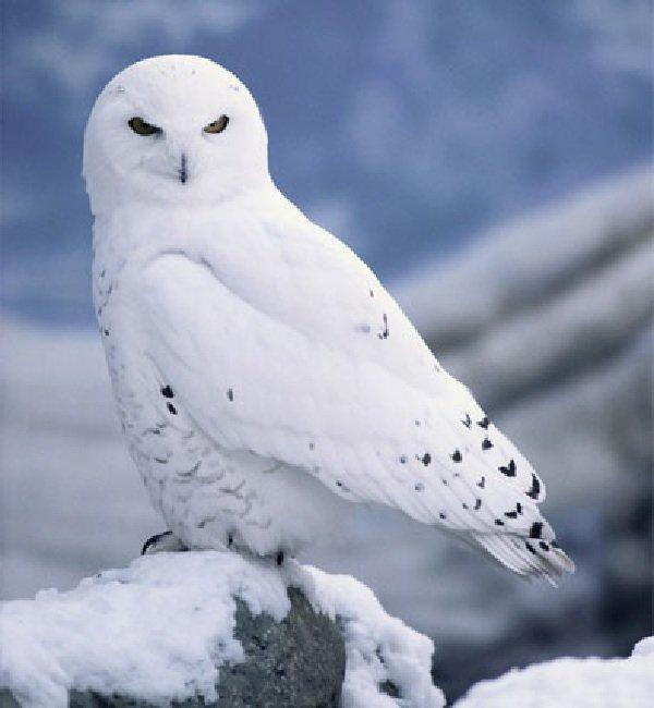 Животный мир Арктики - ТОП-10 - Белая сова