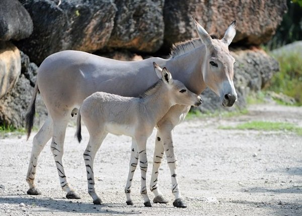 Беременность животных - самая длинная - Осел