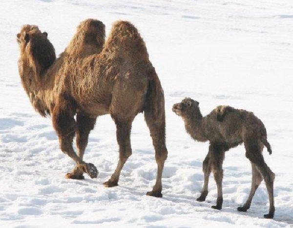 Беременность животных - самая длинная - Верблюд