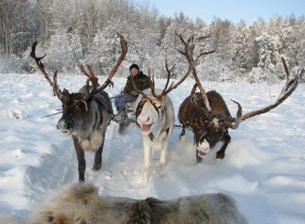 Животный мир Арктики - ТОП-10 - Северный олень