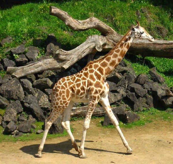 Беременность животных - самая длинная - Жираф