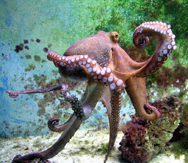 Осьминоги и спруты — морские хамелеоны